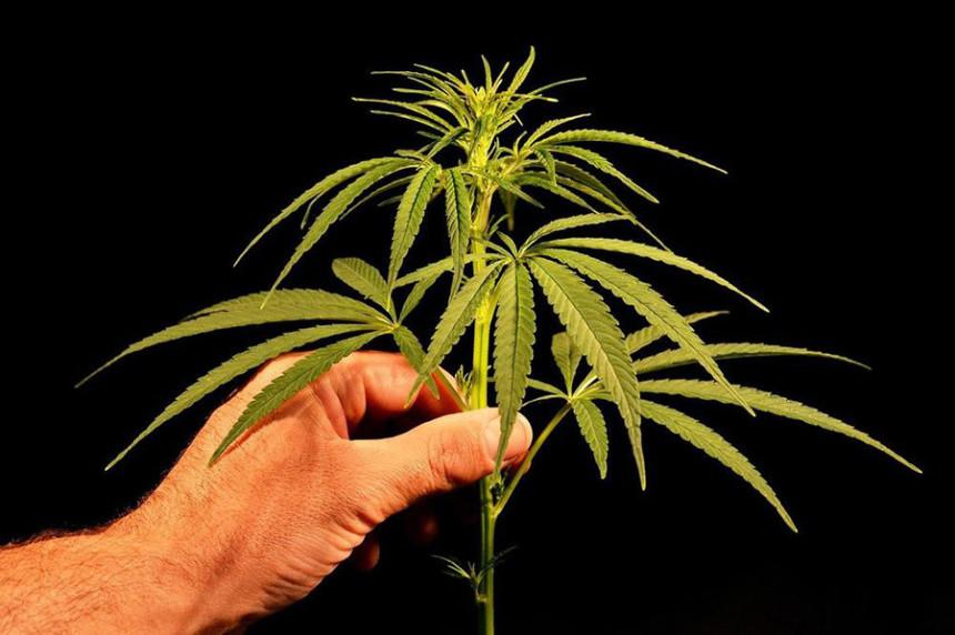 Црна Гора: Полиција одузела 374 кг марихуане