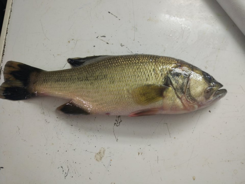 U Savi kod Srpca ulovljena rijetka vrsta ribe