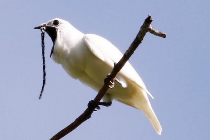 Beli zvončar je najglasnija ptica na svetu! (video)