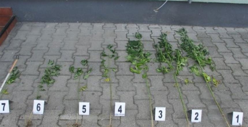 Čelić: Stabljike kanabisa na njivi između kukuruza