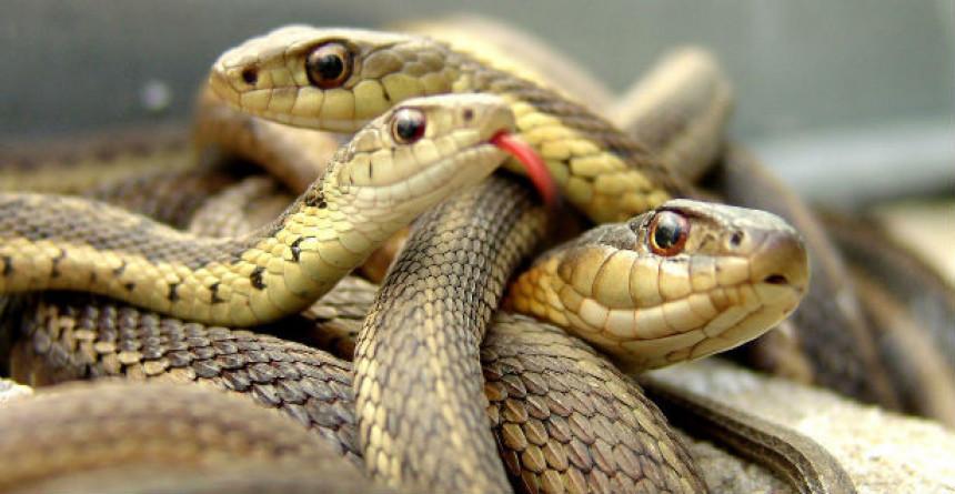 Boljevac: Iznad glave otkrili leglo zmija