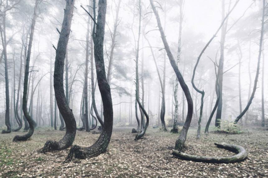 Iskrivljena šuma, prirodni fenomen