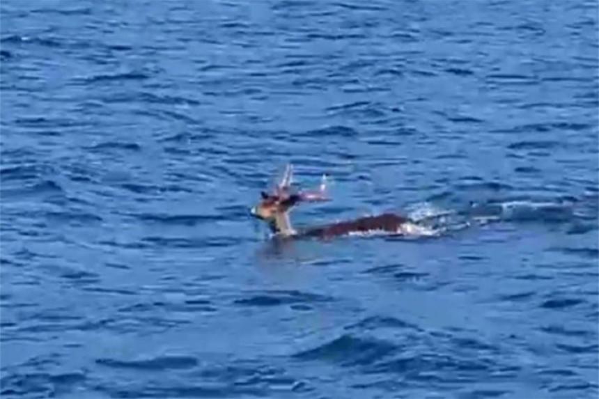 Jelen plivao u Jadranskom moru
