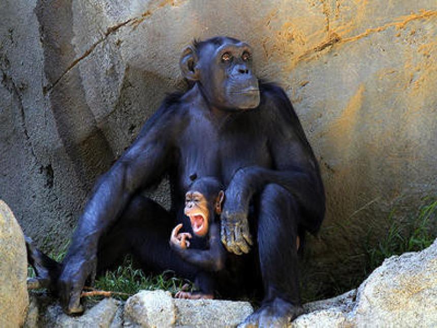 Људска права и за мајмуне?!