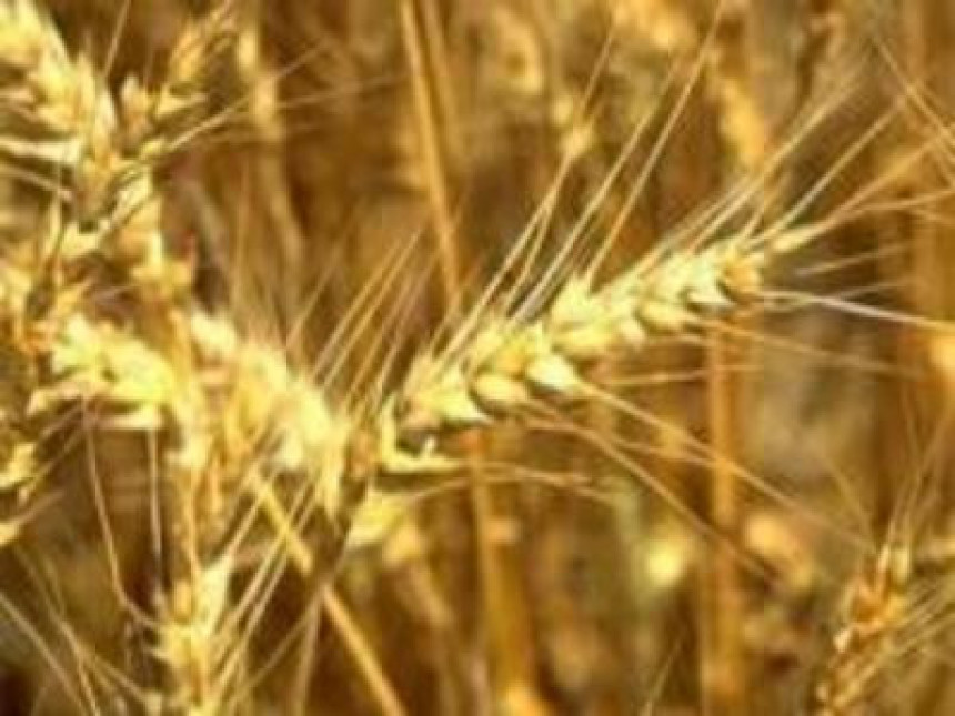 У Српској почела исплата премије за пшеницу