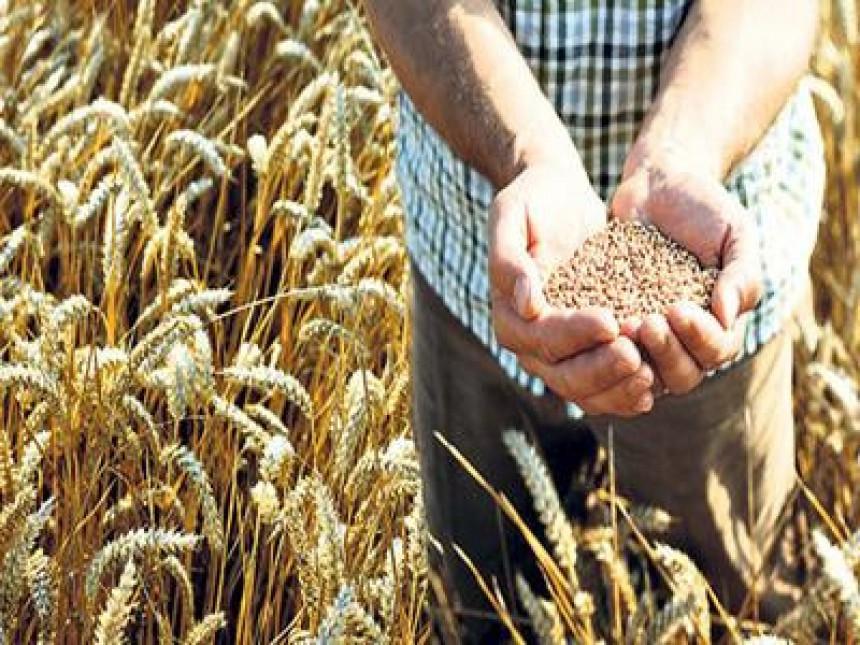 Poskupljuju pšenica i kukuruz!