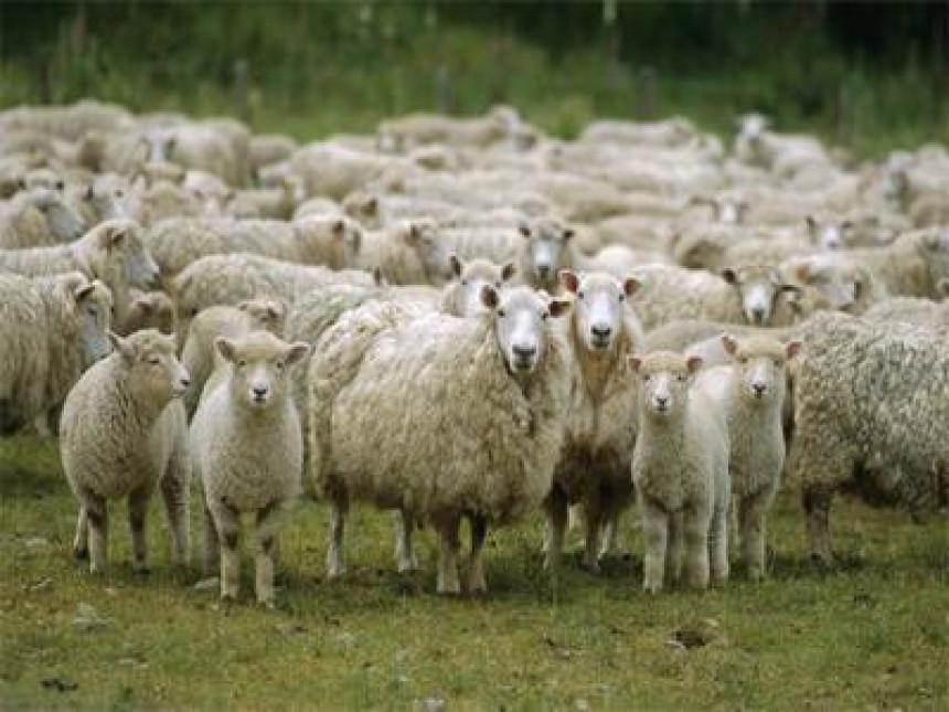 Ukradeno stado ovaca