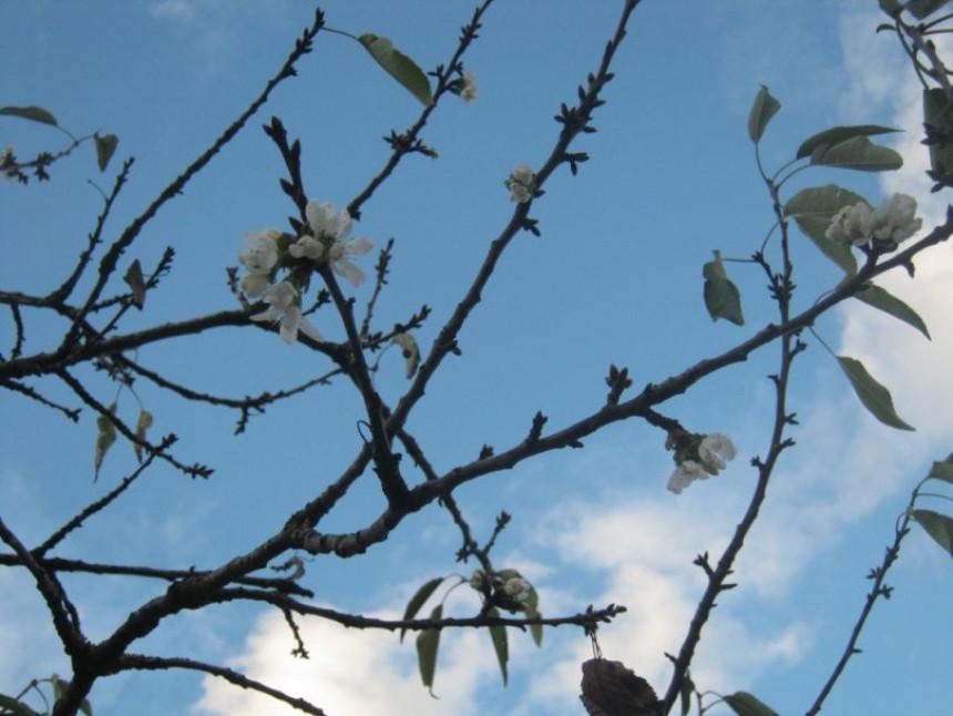 Fenomen: procvjetala trešnja