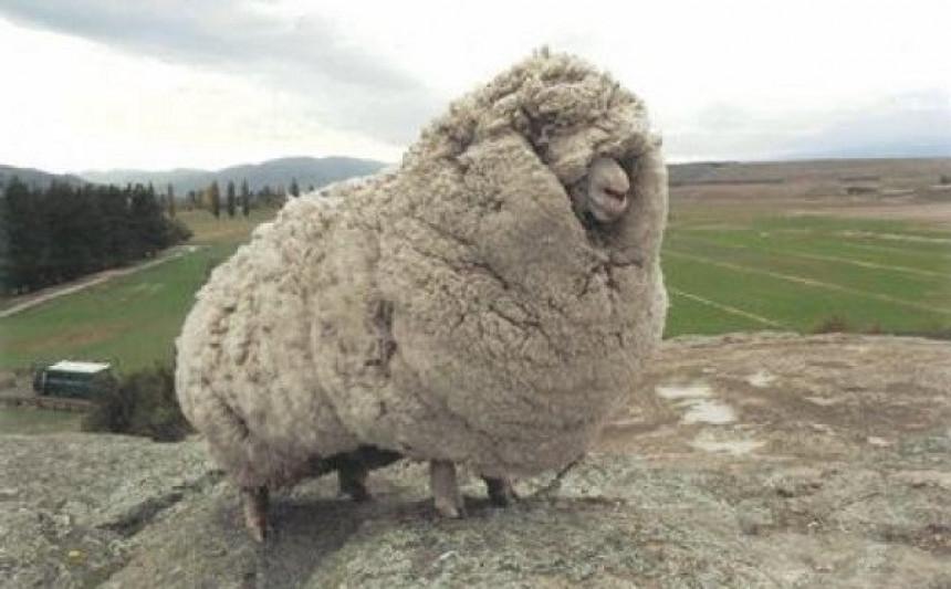 Ovca za Ginisa: Nosila vunu tešku 40 kg