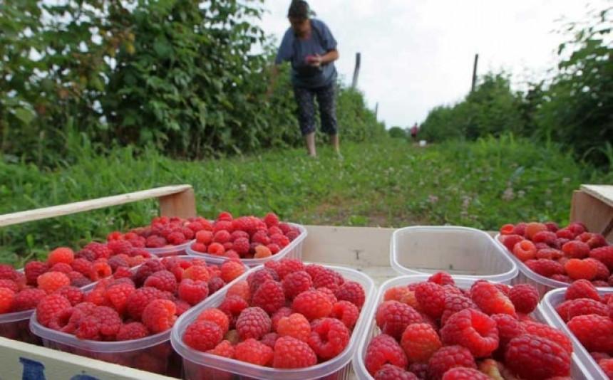 Varljivo proljeće obralo malinjake u Srpskoj