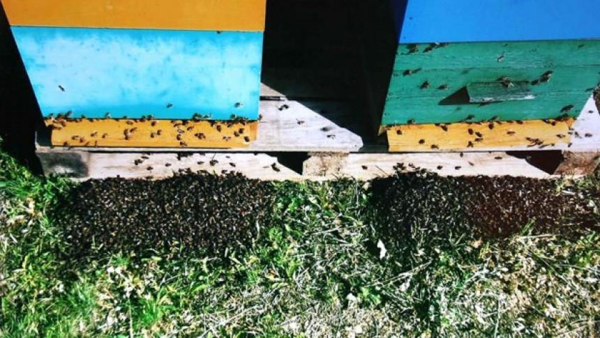 Srbija: Rojevi pčela padaju mrtvi