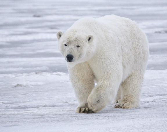 Do 2050. broj bijelih medvjeda biće smanjen za trećinu