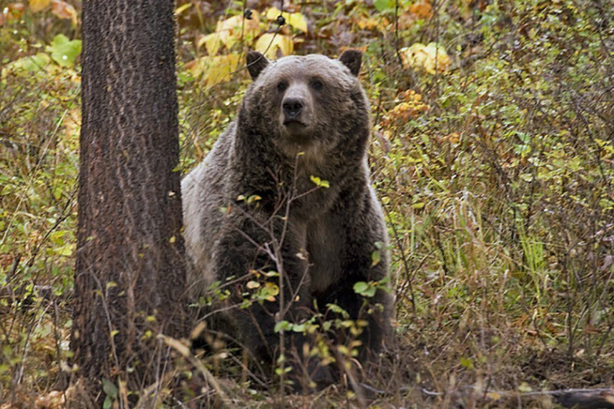 Medvjed pojeo 40 kilograma droge