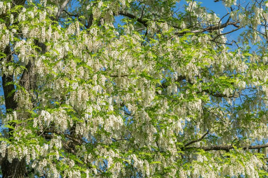 Bogat rod bagremovog cvijeta u Semberiji