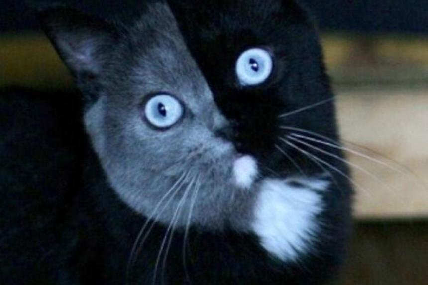 Potomci poznatog mačka sa dva lica, podelili očeve boje!