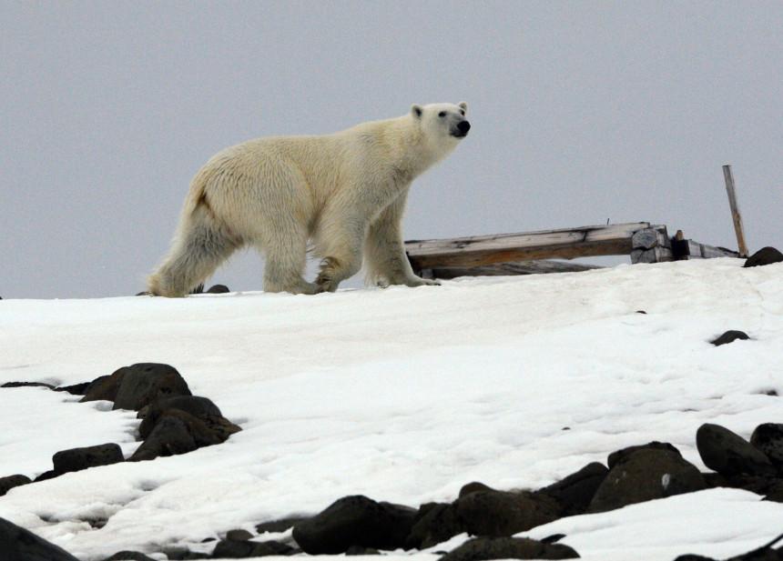 Bijeli medvjedi stali na put ekspediciji