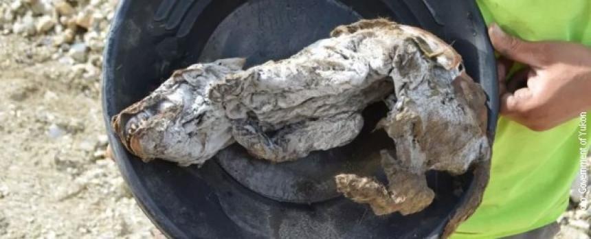 Mladunče očuvano u ledu poslije 57.000 godina