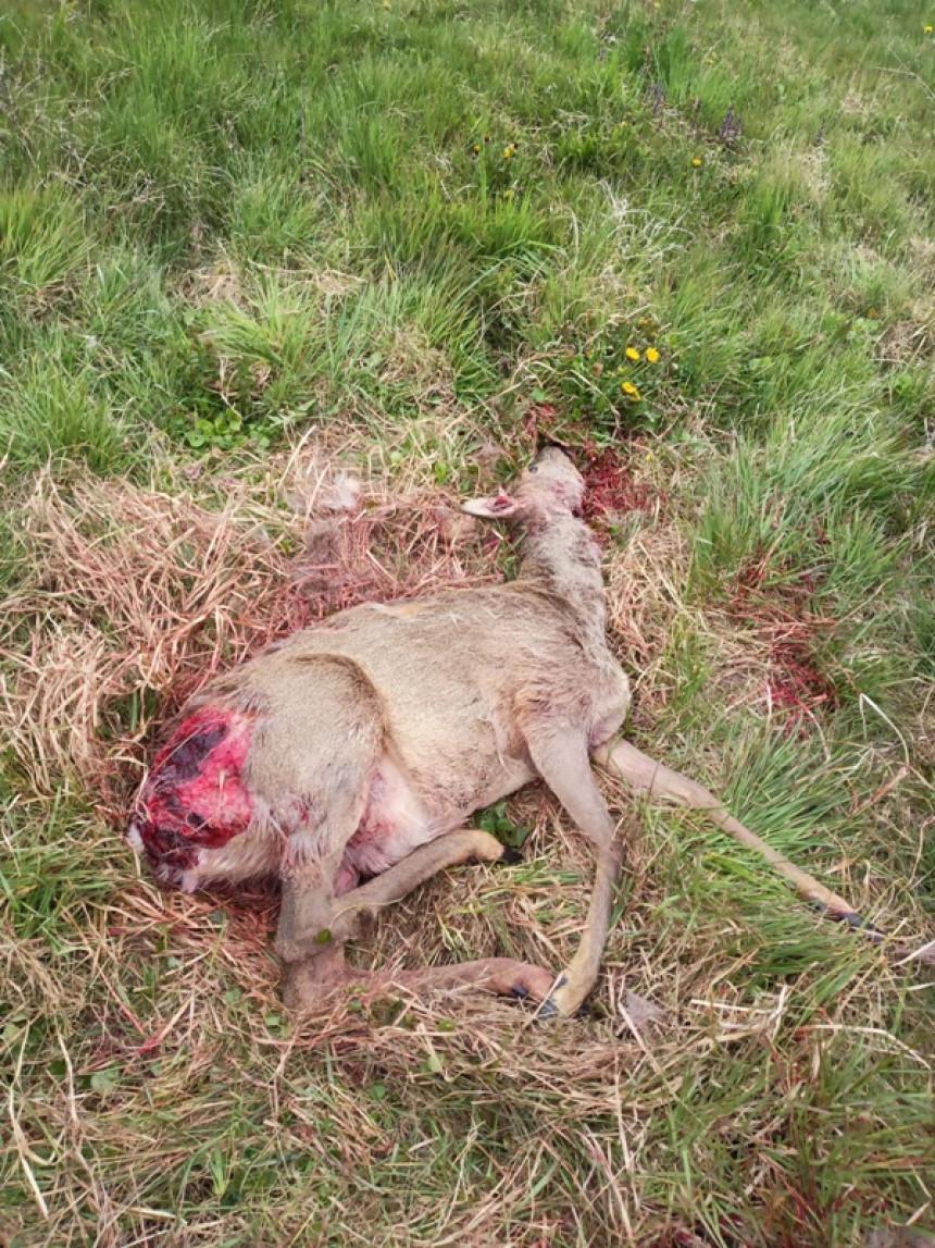 У Српцу најезда паса луталица, растргали срну