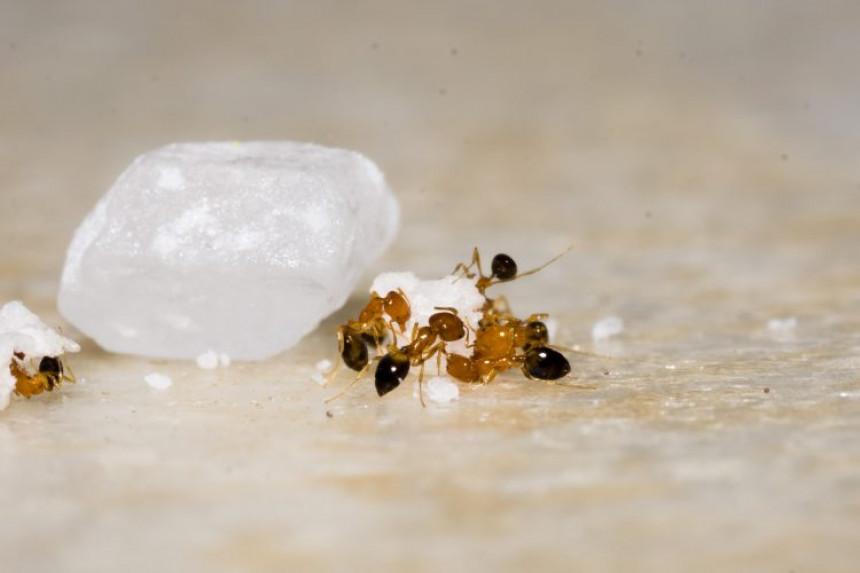 Kako se riješiti mrava? Donosimo nekoliko prirodnih trikova