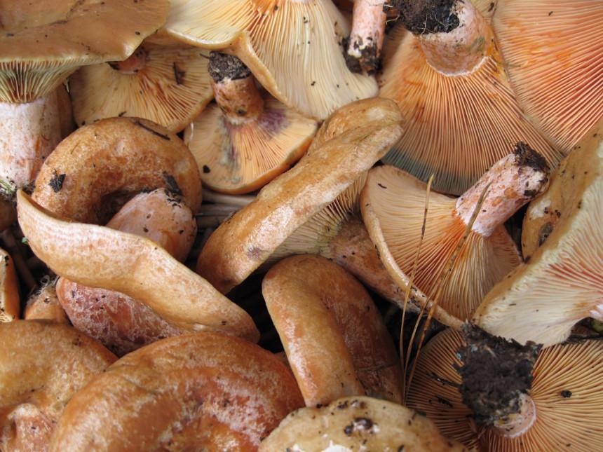 Vlada popustila, ipak nije odzvonilo branju gljiva