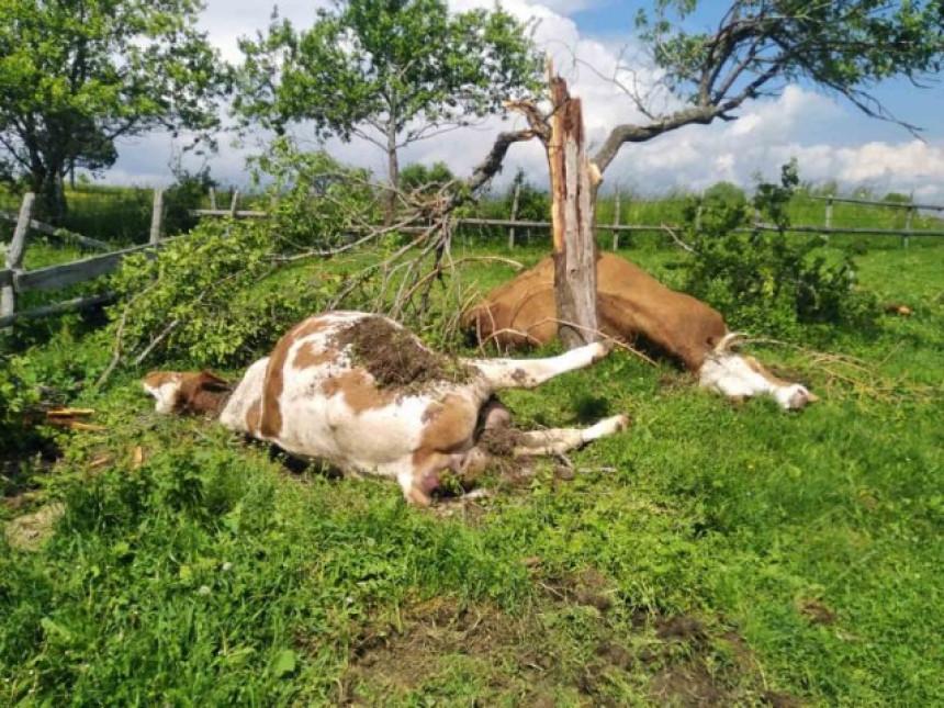 Grom ubio dvije krave koje su se sakrile pod šljivu