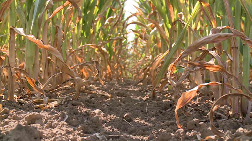 Velike vrućine uništavaju kukuruz u Semberiji