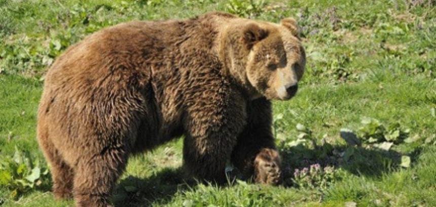 Medvjed napao stado ovaca u gatačkom selu Kravarevo