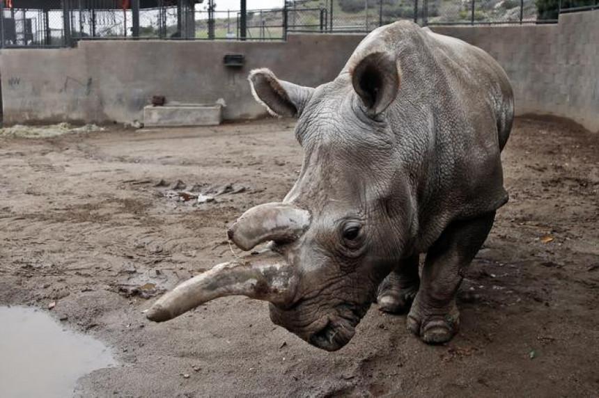 Ostala samo tri bijela nosoroga na svijetu