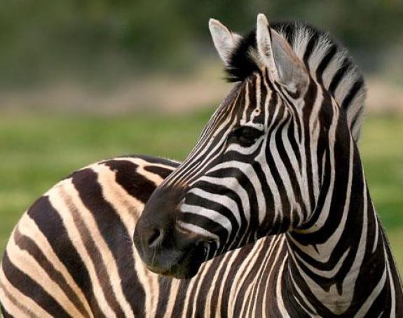 Objasnili zašto zebra ima pruge