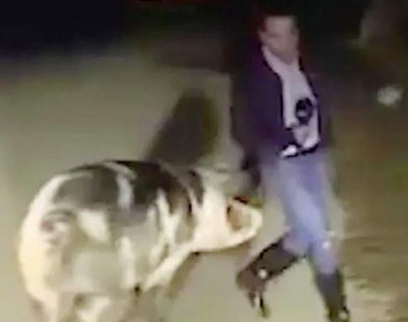 Reportera ugrizla svinja, u studiju se smijali (VIDEO)